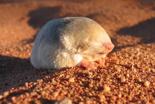 el topo dorado - Animales